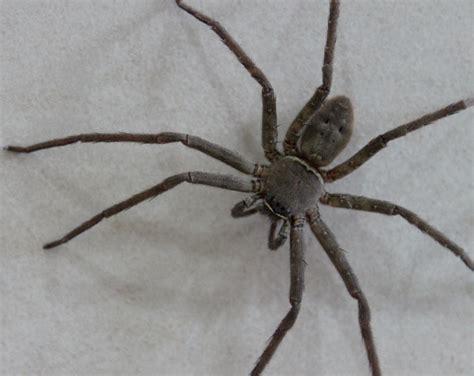 Garden Huntsman Spider Huntsman Spiders At Spiderzrule The Best Site In The