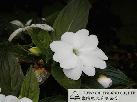Impatiens Balsamina Limited toyo greenland co ltd