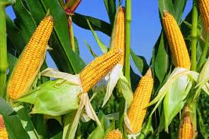 gene edited corn has nutrients usually found in