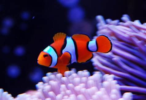Karpet Nmax Nemo saltwater aquarium fish top 10 for any reef tank
