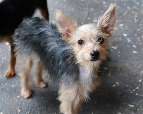 rat terrier yorkie mix damby s web page