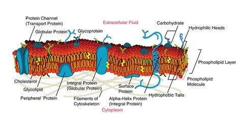 membrane proteins ck  foundation