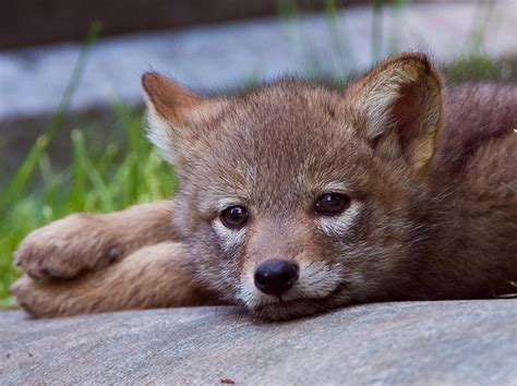coyote puppy zenfolio eric smith photography coyotes and pups coyote pup relaxing after a