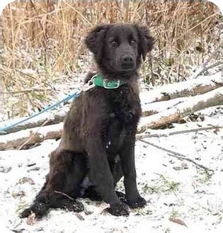 golden retriever springer spaniel dixon adopted puppy mn springer spaniel golden retriever mix
