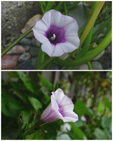small white and purple trumpet shaped flower flowers forums