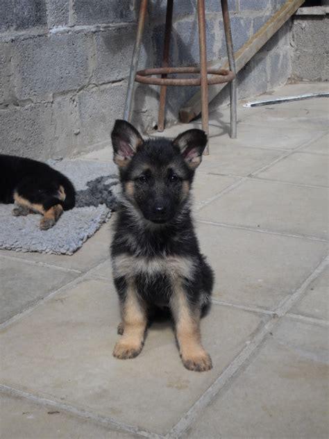 10 week german shepherd puppies 10 week german shepherd puppy pictures photo