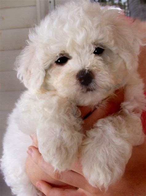 small hypoallergenic breeds small hypoallergenic breeds breeds