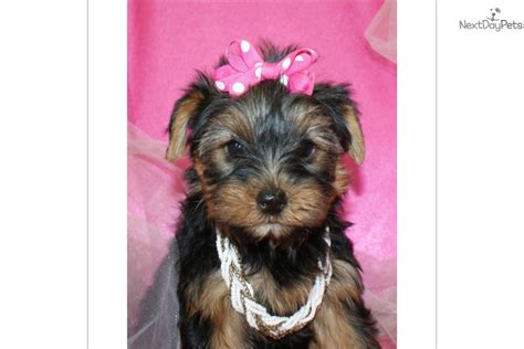 yorkie puppies for sale in west palm reina terrier yorkie puppy for sale near west palm florida