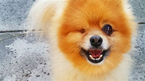 pomeranian rescue ct pomeranian rescue how to a to stop biting dogs pineapple