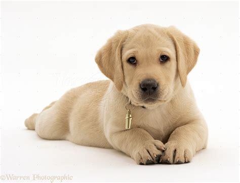 free labrador retriever puppies labrador retriever wallpapers hd