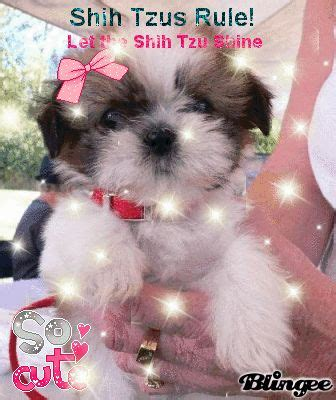 shih tzu constipation 17 best images about pets shih tzu s on puppys pretty and pets