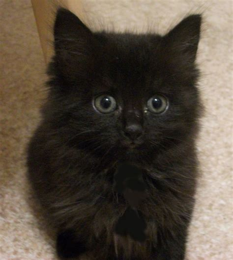 Three fluffy long haired black kittens   South Croydon