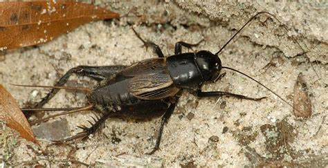 black crickets in house cricket control products