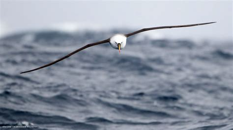 albatross wallpapers images  pictures backgrounds