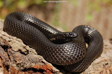 thamnophis melanogaster canescens steven bol garter snakes