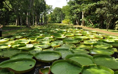 Mauritius Botanical Garden Plemousses Botanical Garden Mauritius Elite Voyage