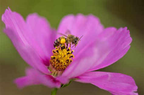 imagenes de avispas rojas insectos polinizadores asociaci 243 n de consumidores org 225 nicos