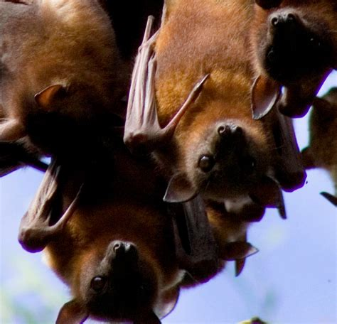 a fruit bat is this a or a fruit bat peta