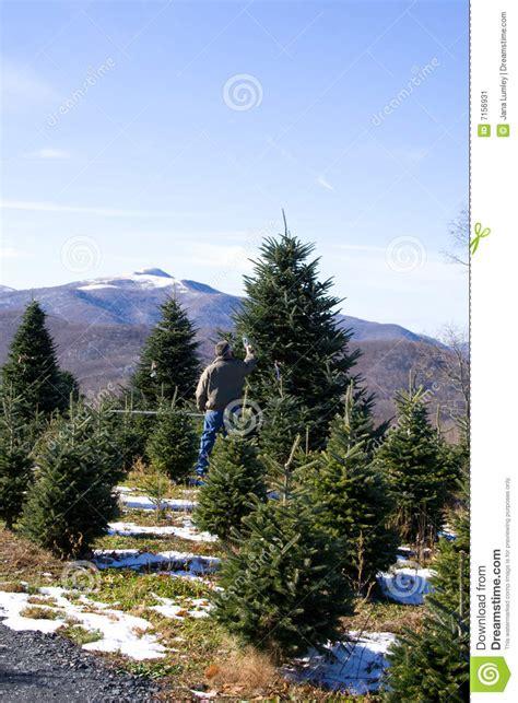 choosing a christmas tree stock image image 7156931