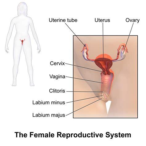 external female reproductive system diagram women body parts external diagram anatomy body list
