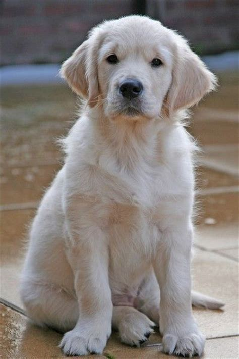 real golden retriever 25 best ideas about white golden retrievers on
