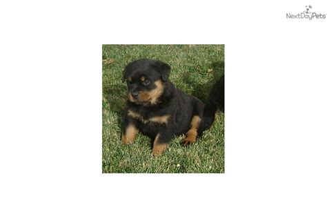 rottweiler puppies for sale in utah rottweiler puppy for sale near ogden clearfield utah a3b247ee 7bc1