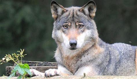 Auto Wolf Varel by Verkanntes Raubtier Bockhorn Der B 246 Se Wolf Wegen