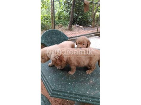 golden retriever puppies for sale in sri lanka golden retriever puppy animals gaha mydream lk