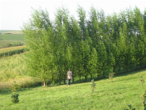 fast growing trees for privacy 8888