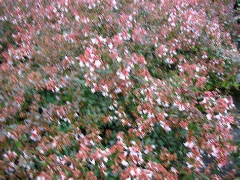 Arbuste A Fleurs by Production D Arbustes 224 Fleur P 233 Pini 232 Res Holder Bretagne