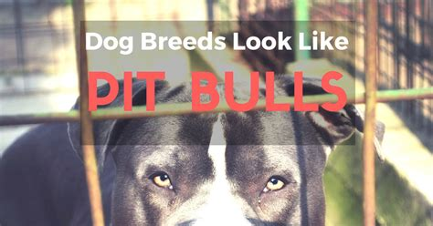 dogs that look like pit bulls list 7 breeds that look like pit bulls helpful