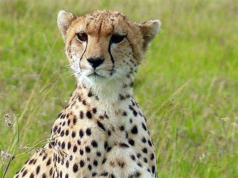 south african cheetah simple english wikipedia the free cheetah cheetah having a look around mara 1 flickr