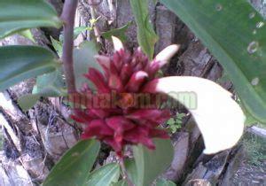 jenis jenis tanaman obat herbal kandungan manfaat serta gambarnya