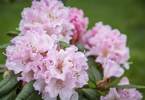 Edible Arrangement by Rhododendron Care Tips On How To Grow A Rhododendron Bush