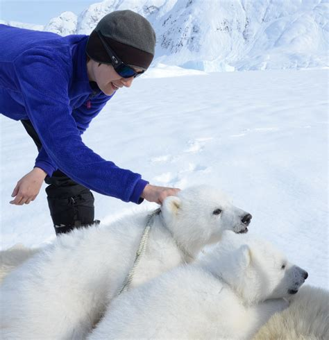 two polar bears in a bathtub uw s kristin laidre awarded pew marine fellowship to study