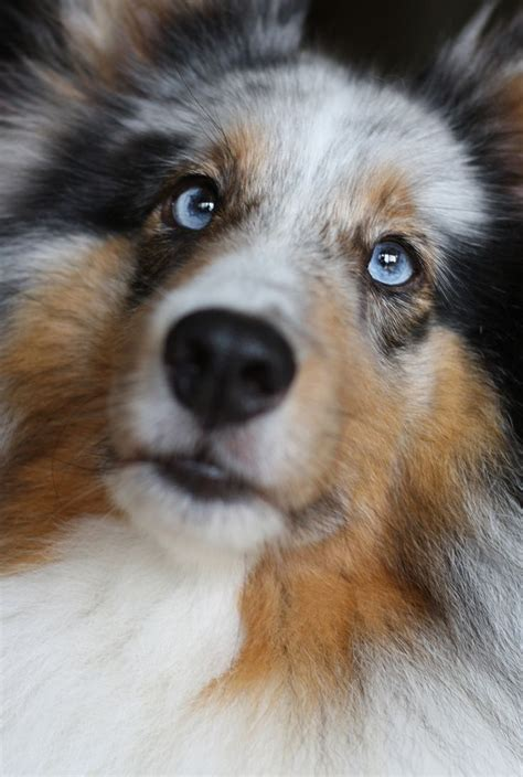 blue merle sheltie puppies a blue merle shetland sheepdog if i m getting one of these i a blue murle