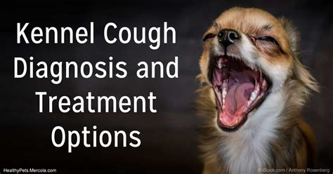 kennel cough in dogs kennel cough diagnosis and treatment options