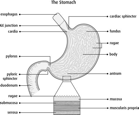 stomach diagram anatomy and physiology of the stomach canadian cancer