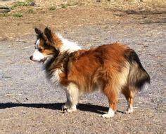 pomeranian shoo poshie pomeranian sheltie mix ocd dogs mixed breeds pomeranians