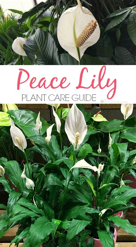 peace lily plant care guide how to grow a peace lily