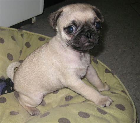 curly pug rescue mill rescue clem s litter curly pug rescue