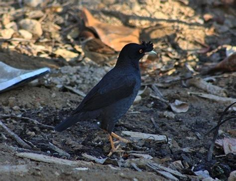 bali starling life expectancy