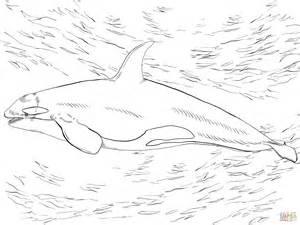 ausmalbild orca oder killerwal kostenlos