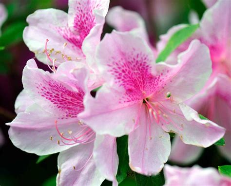 fiori azalea 50 wonderful azalea flowers pictures golfian