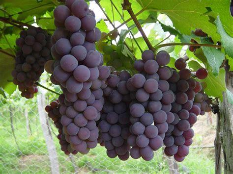 imagenes de unas uvas calorias da uva tipos por 231 245 es dicas e receitas