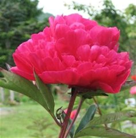 1000 images about peonies on pinterest paeonia