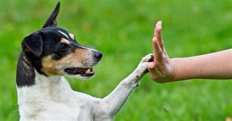 can dogs get high teach your to high five dogtraininghq comdogtraininghq