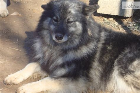 keeshond puppies for sale near me keeshond puppy for sale near knoxville tennessee 589f4eba 34e1