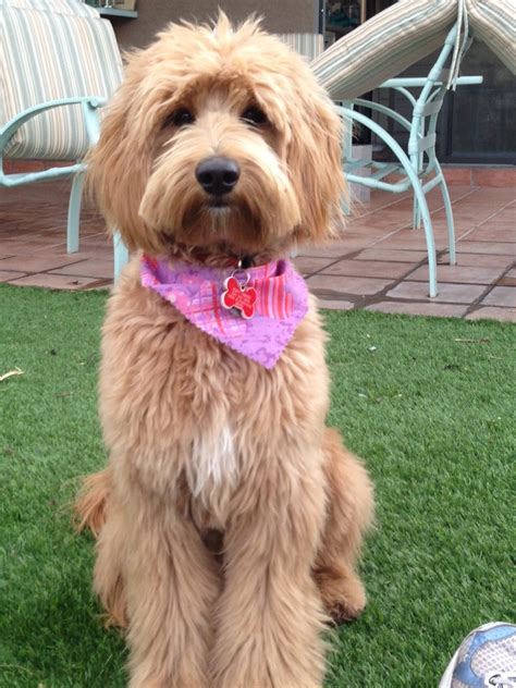 labradoodle haircut pictures australian labradoodle haircuts best wedding hairs
