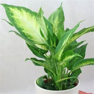 Tropical Indoor Plant Identification - dieffenbachia camille